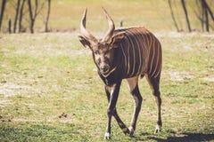 Afrikanischer Bongo geht entlang ruhig auf sandiges Gras in der Weinleseeinstellung lizenzfreie stockbilder