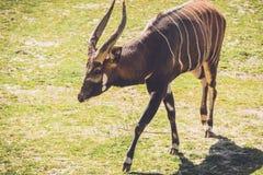 Afrikanischer Bongo geht entlang ruhig auf sandiges Gras in der Weinleseeinstellung lizenzfreies stockbild