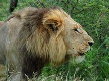 Afrikanischer brüllender Löwe stockbild