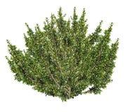 Afrikanischer Buchsbaumbaum, Myrsine africana - 3D übertragen Stockfotografie