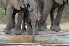 Afrikanischer Buschelefant des Babys (Loxodonta africana) Lizenzfreie Stockfotografie