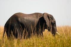 Afrikanischer Buschelefant im hohen Gras lizenzfreie stockbilder