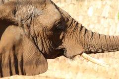 Afrikanischer Buschelefant im Profil Lizenzfreie Stockfotos