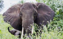 Afrikanischer Buschelefant ( Loxodonta africana&) Stockfotografie