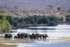 Afrikanischer Buschelefant in Nationalpark Kruger Lizenzfreies Stockbild