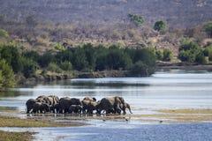 Afrikanischer Buschelefant in Nationalpark Kruger Lizenzfreie Stockbilder