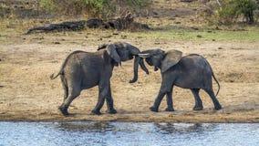 Afrikanischer Buschelefant in Nationalpark Kruger stockbild