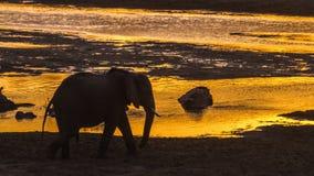 Afrikanischer Buschelefant in Nationalpark Kruger, Südafrika stockfotografie
