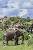 Afrikanischer Buschelefant in Nationalpark Mapungubwe, Südafrika stockfotografie