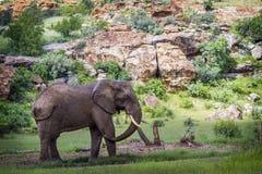 Afrikanischer Buschelefant in Nationalpark Mapungubwe, Südafrika stockfotos
