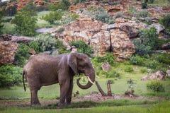 Afrikanischer Buschelefant in Nationalpark Mapungubwe, Südafrika lizenzfreie stockbilder