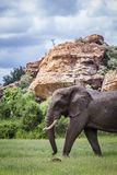 Afrikanischer Buschelefant in Nationalpark Mapungubwe, Südafrika stockbilder