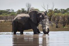 Afrikanischer Buschelefant in Okavango-Delta Lizenzfreie Stockfotos