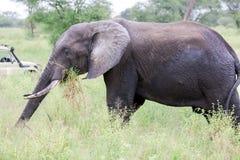 Afrikanischer Buschelefant u. x28; Loxodonta africana& x29; Stockbilder