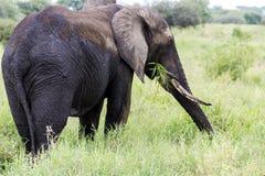 Afrikanischer Buschelefant u. x28; Loxodonta africana& x29; Stockfotografie