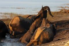 Afrikanischer Buschelefant während der Schlammbäder Stockfotos