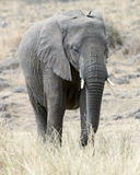 Afrikanischer Bush-Elefant Lizenzfreies Stockbild