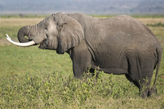 Afrikanischer Bush-Elefant Lizenzfreie Stockfotografie