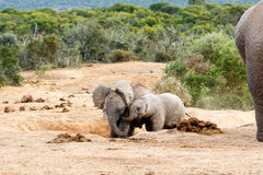 Afrikanischer Bush-Elefant Stockbild
