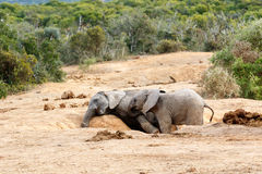 Afrikanischer Bush-Elefant Stockfotos