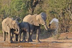 Afrikanischer Bush-Elefant (Loxodonta africana) Stockfoto