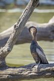 Afrikanischer Darter in Nationalpark Kruger, Südafrika lizenzfreie stockfotografie