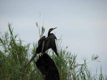 Afrikanischer Darter oder Snakebird auf Baumstumpf lizenzfreie stockfotografie