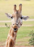 Afrikanischer der Giraffe Abschluss oben Lizenzfreies Stockfoto
