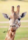 Afrikanischer der Giraffe Abschluss oben Lizenzfreies Stockbild