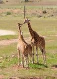 Afrikanischer der Giraffe Abschluss oben Stockfoto