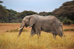 Afrikanischer Elefant Stockfotos