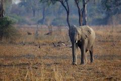 Afrikanischer Elefant Stockfotografie