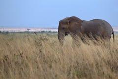 Afrikanischer Elefant Stockbild
