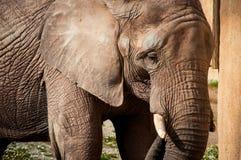 Afrikanischer Elefant Lizenzfreies Stockfoto