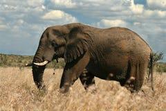 Afrikanischer Elefant Lizenzfreie Stockbilder