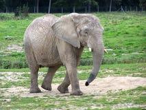 Afrikanischer Elefant Stockfotos