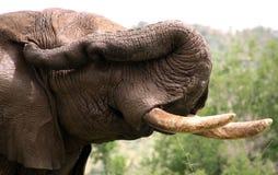 Afrikanischer Elefant Lizenzfreie Stockfotos