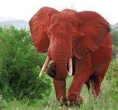 Afrikanischer Elefant Lizenzfreies Stockbild
