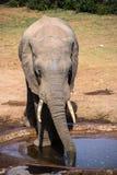 Afrikanischer Elefant in Addo Elephant National Park, Südafrika Stockfoto