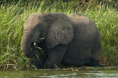Afrikanischer Elefant, Afrikaanse savanneolifant, Loxodonta africana stockfoto