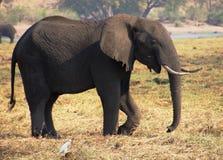 Afrikanischer Elefant auf den Banken des Flusses stockbild