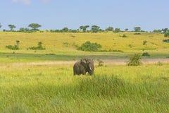 Afrikanischer Elefant auf der Savanne Stockfotografie