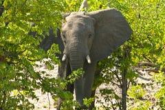 Afrikanischer Elefant auf Warnung Stockbild