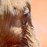 Afrikanischer Elefant Baby& x27; s-Augen-Detail stockbild