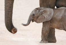 Afrikanischer Elefant-Baby und Mutter stockfotos