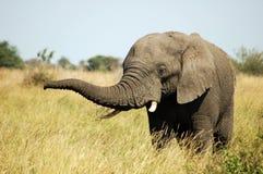 Afrikanischer Elefant Bull Lizenzfreies Stockbild