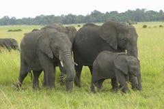 Afrikanischer Elefant in den Wiesen von Lewa-Erhaltung, Kenia, Afrika stockfoto
