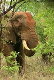 Afrikanischer Elefant, der auf Mopani speist Stockbilder