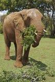 Afrikanischer Elefant, der belaubte Zweige isst Stockfoto