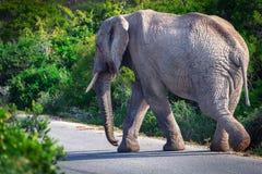 Afrikanischer Elefant, der die Straße in Addo National-Park kreuzt stockbild